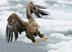 Right On Target by Harry Eggens on 500px Description from the Photographer: White-tailed Eagle at the drifting ice in Nemuro Strait a few miles Northeast of Rausu on Hokkaido, Japan. Camera: Nikon D300 Lens: Nikkor 200-400 AF-S VR Focal Length: 250mm Shutter Speed: 1/800 secs Aperture: f/5.6 ISO: 400 7 Related Bird Tutorials and Image …