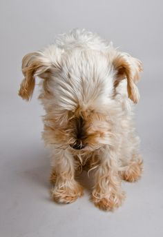 Schnauzer (all white)