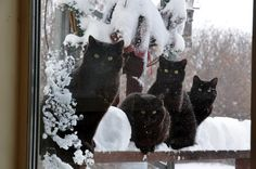 4 black cats in the snow