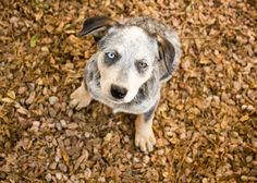 Kronos, a 2-month-old Australian Cattle Dog, poses for the camera in Sierra Vista, Ariz.