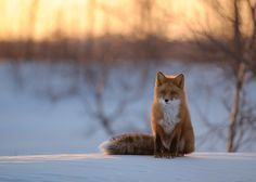 Fox and bushy tail. Fantastic Fox, Fabulous Fox, Types Of Animals, Small Animals, Silver Foxes, Pet Fox, Cutest Thing Ever, Nature Reserve, Cute Funny Animals