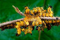 caterpillars (photo.George Grall)