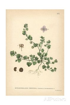 Ivy-Leaved Speedwell, Veronica Hederifolia Giclee Print - AllPosters.co.uk