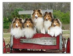 Shelties in an antique wagon