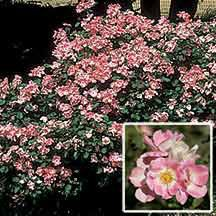 94 Best True Roses Wild Roses Species Rose Images Roses Bloom