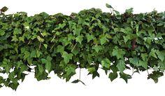 Ivy Overhang PNG by EveLivesey.deviantart.com on @deviantART