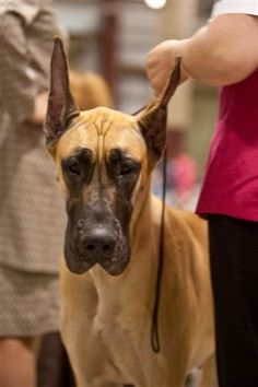 Fawn Great Dane Willow