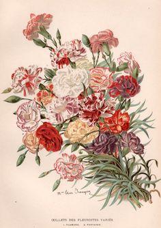 Antique Botanical Print, Carnation Illustration, Oeillets des Fleuristes, Dianthus caryophyllus, Vintage Floral Lithograph, Botany Art Print