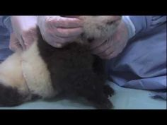 First Steps! San Diego Zoo Panda Cub 9th exam - Video