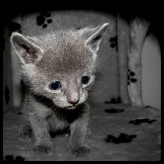 """""""A true cat lover cradles a new kitten and knows that 9 lives will never be nearly enough."""" --Author Unknown"""