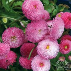 Plant Profile for Bellis perennis 'Tasso Pink' - English Daisy Perennial