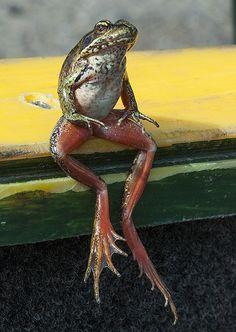 Northern Red-legged Frog--Rana aurora