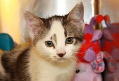 Petango.com – Meet Yanna, a 6 months 18 days Domestic Shorthair / Mix available for adoption in VALLEY FALLS, KS