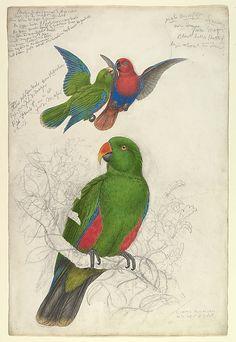 Eclectus Roratus Polychloros  Edward Lear (British, London 1812–1888 San Remo)  Date: ca. 1830–32 Medium: Watercolor and gouache over graphite or chalk
