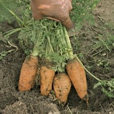 how to plant carrots from seeds. Guess what I'm doing this weekend?