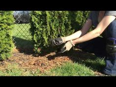 Learn how to plant privacy tree hedges like the emerald green arborvitae along with spacing care and maintenance for your newly planted privacy tree hedge. Privacy Landscaping, Garden Landscaping, Landscaping Ideas, Backyard Ideas, Electric Tiller, Arborvitae Tree, Emerald Green Arborvitae, Privacy Trees, Purple Door