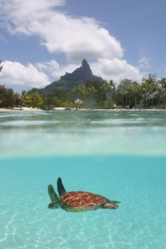 Sea Turtle in summer crystal blue waters. Tahiti