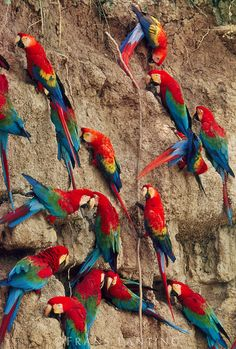Red-and-green macaws at clay lick, Ara chloroptera, Manu National Park, Peru