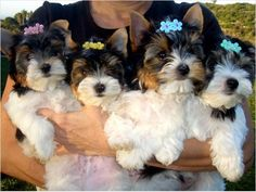 Biewer Terrier puppies I have two like these pictured to the right. See them at: http://www.grigiosgrooming.com