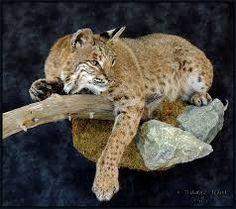 Image result for cool bobcat mount