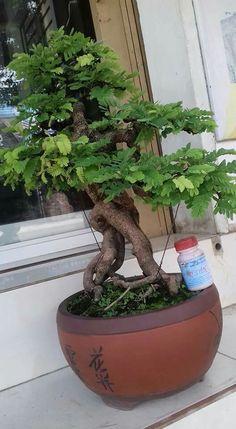 Bonsai Art, Bonsai Plants, Bonsai Garden, Garden Plants, Acer Palmatum, Tamarindus Indica, Inside Plants, Mini Plants, Colorful Plants