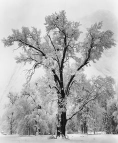 Oak Tree, Snowstorm by Ansel Adams 1948. beautiful black and white photograph is hand made from Ansel Adams' original negative,