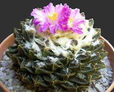 cactus extraños | Multiplicación de las Plantas Crasas y Cactus