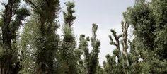 EFEfuturo Describen por primera vez los genes del olivo