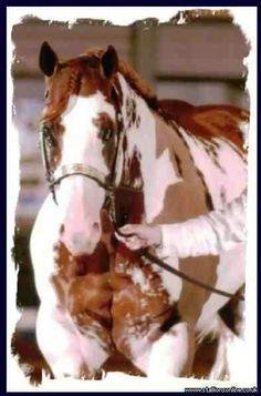 Paint stallion horse champion