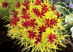 """Coreopsis """"Cherry Lemonaide"""".  It's going to be an annual up north but the lucky people down south are lucky to have this incredible foliage/flower combo"""