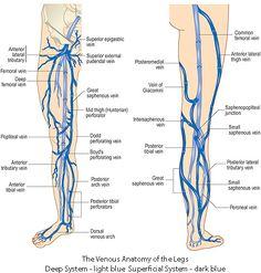 Arteries Anatomy, Anatomy Organs, Human Body Anatomy, Muscle Anatomy, Varicose Vein Removal, Varicose Veins Treatment, Blood Vessels Anatomy, Abdominal Aorta, Vascular Ultrasound