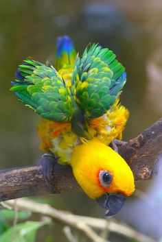 Jenday Conure (Aratinga jandaya) By wavethree on flickr.found on flickr.com