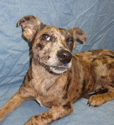 02/14/14 Emmy Lou  Catahoula Leopard Dog & Labrador Retriever Mix • Young • Female • Medium  City Of Deer Park Deer Park, TX