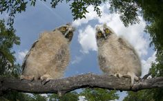 Two long-eared owl chicks (Asio otus) perching on a tree branch in daylight, Pusztaszer, Kiskunság National Park  Picture: Bence Mate/NPL / Rex Features