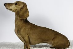 Dachshund Dog Breed Information, Pictures, Characteristics & Facts - Dogtime Hound Dog Breeds, Crusoe The Celebrity Dachshund, Dog Breeds Pictures, Dog Breed Info, Miniature Dachshunds, Dachshund Dog, Dog Portraits, Chihuahua, Labrador Retriever