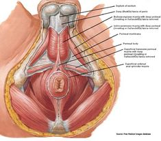 The Male Pelvic Floor Innervation of Intrinsic - Bing Images Muscular System, Muscle Anatomy, Reproductive System, Pelvic Floor, Body Systems, Midwifery, Anatomy And Physiology, Alternative Health, Human Anatomy