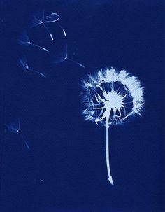 dandelion cyanotype
