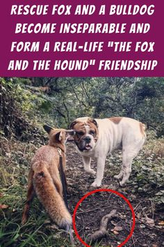#Rescue #Fox #Bulldog #Inseparable #Life #Fox #Hound #Friendship Newborn Family Pictures, Family Picture Poses, Family Picture Outfits, Super Cute Puppies, Super Cute Animals, Cute Dogs, Wild Animals Pictures, Funny Animal Pictures, Rare Animals