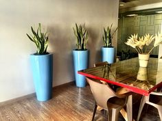 Here we have used 3 x Obligatto round tapered fibreglass pots in a baby blue together with sansevieria trifasciata plants.