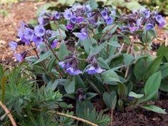 """Pulmonaria angustifolia `Blue Ensign` (Longkruid)    Kleur: blauw  Hoogte: 30 cm  Bloeitijd: maart-mei  Standplaats: schaduw   Aantal planten per m2: 7 stuks   Vroegbloeiende vaste plant waarvan de bloemen en bladeren groter zijn dan de """"gewone"""" Pulmonaria angustifolia."""