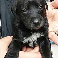 Southington, Connecticut - Border Collie. Meet Betsy, a for adoption. https://www.adoptapet.com/pet/20879611-southington-connecticut-border-collie-mix