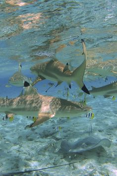 blacktip reef sharks + rays, bora bora | marine animal + underwater photography