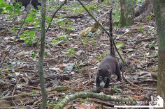 Coati - La National Geographic cataloga al Parque Corcovado y sus alrededores como la región con mayor biodiversidad del mundo y realmente lo es, ni bien bajamos de la lancha los monos titi muy curiosos vinieron a saludarnos.