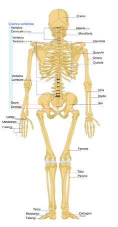Human skeleton back it - Scheletro (anatomia umana) - Wikipedia