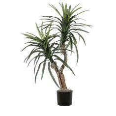 Marginata Bush Tree in Pot