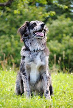 Amaroq mix australian shepherd border collie                                                                                                                                                     More