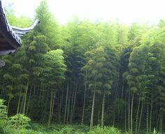 Bamboo Seeds Catalog — มีเมล็ดพันธุ์ไผ่จำหน่าย: PHYLLOSTACHYS EDULIS — MOSO — ANHUI NEW HARVEST NO... Bamboo Seeds, Vineyard, Outdoor, Bamboo, Outdoors, Vineyard Vines, The Great Outdoors