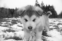 I want an Alaskan Husky sooo bad! But with that face who wouldn't want one!