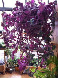 house plants i want purple wandering jew - Flowering House Plants Purple