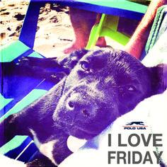 polousa.com.br Boston Terrier, Friday, Polo, Usa, My Love, Animals, My Boo, Animais, Polos